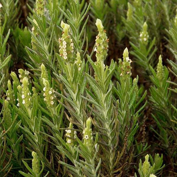 Lavandula Viridis (Лаванда Зелёная)