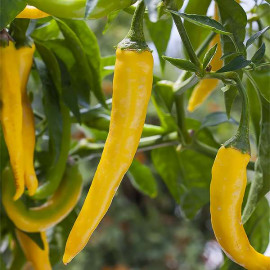 Cayenne Gold (Yellow)