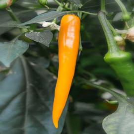Naranja Picante