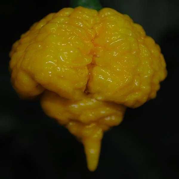 7 Pot Brain Strain Yellow