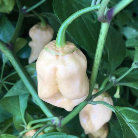 7 Pot Bubblegum White