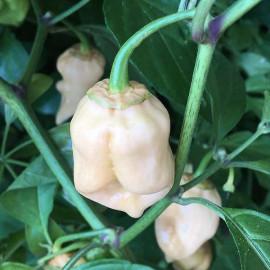 7 Pot Bubblegum White