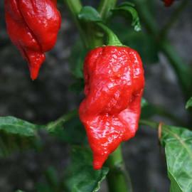 7 Pot Red