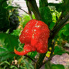 Carolina Reaper Red (HP22B), Каролина Рипер, Каролинскй Жнец