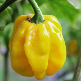 Habanero Giant  Yellow