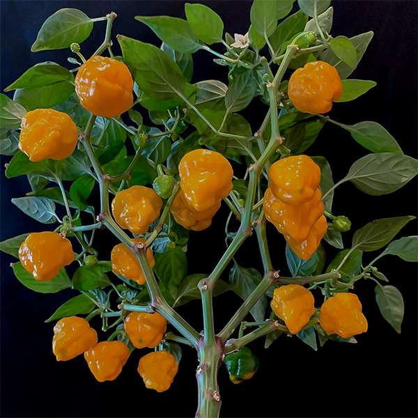 Jamaican Hot Orange