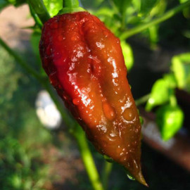 Bhut Jolokia Brown (chocolate)