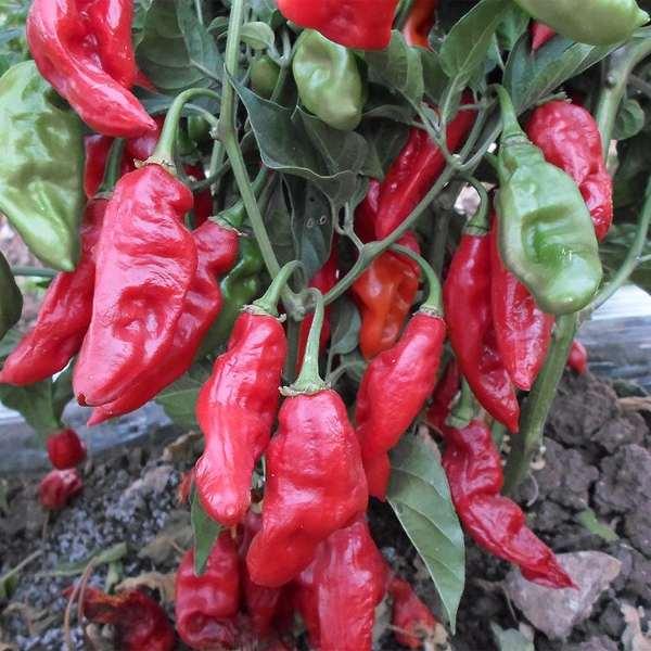 Bih Jolokia Red
