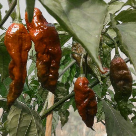 Naga Morich Brown (Chocolate)