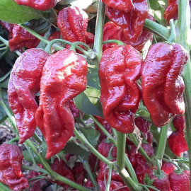 Naga Morich Red