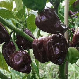 Scotch Bonnet Chocolate