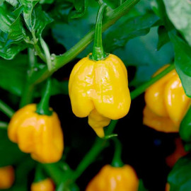 Trinidad Scorpion Butch T Yellow