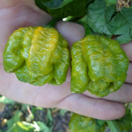 Trinidad Scorpion Moruga Green