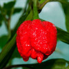 Trinidad Scorpion Moruga Red